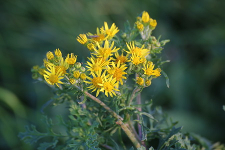 willy: Blossoms of the ragwort (Senecio jacobaea).