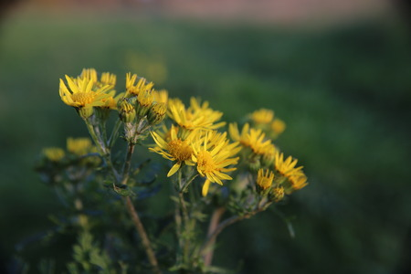 vignetting: Blossoms of the ragwort (Senecio jacobaea). Slight vignetting adds to the composition. Stock Photo