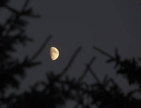 waning moon: Partial moon with silhouette of coniferous twigs. Stock Photo