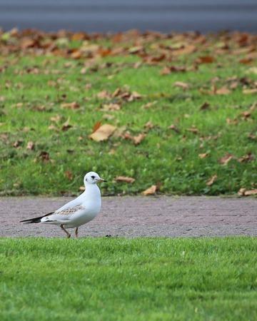 ridibundus: Juvenile Black-Headed Gull (Chroicocephalus ridibundus) walking between grass.