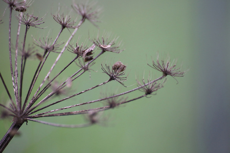 meagre: Umbel in autumn bearing seeds. Stock Photo