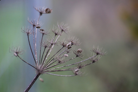 image created 21st century: Umbel in autumn bearing seeds. Stock Photo