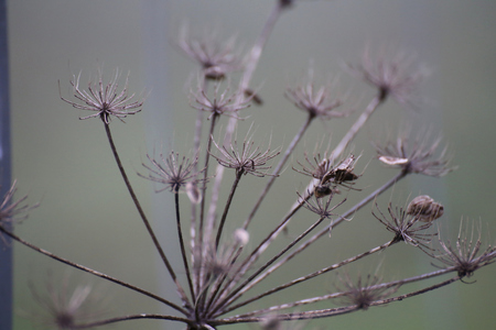 image date: Umbel in autumn bearing seeds. Stock Photo