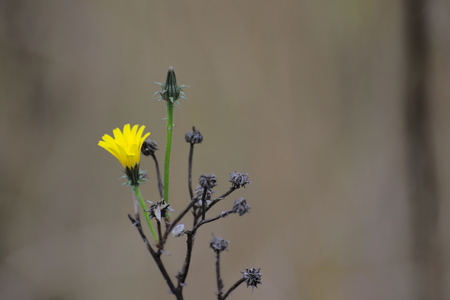 Single green and flowering sprout on the dry plant of a herb (Asteraceae - daisy family). photo