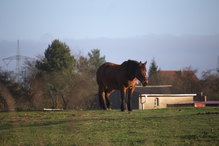 shire horse: Big and heavy plow horse standing on a meadow.
