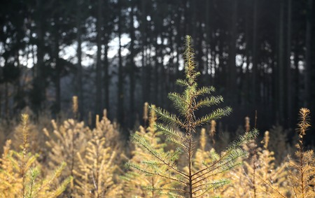 picea: Plantation of spruce trees (Picea) in autumn.