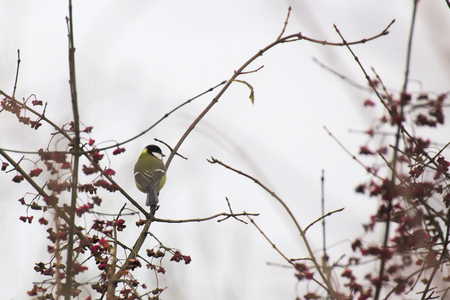 image date: Great tit (Parus major) sitting in the twigs of a bare winter tree. Stock Photo