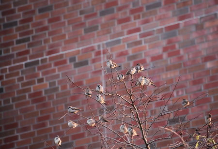 meagre: Many house sparrows (Passer domesticus) sitting in a bald tree in front of red clinker wall. Stock Photo