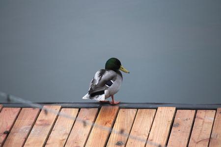 greifswald: A male mallard standing on a boardwalk in front of water.