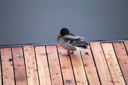 A male mallard standing on a boardwalk in front of water. photo