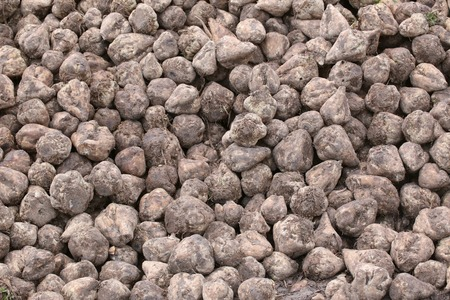 image date: Pile of harvested sugar beets. Stock Photo
