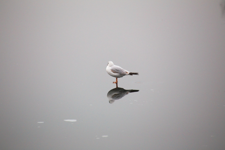 meagre: A young black-headed gull (Chroicocephalus ridibundus) walking on ice in winter.