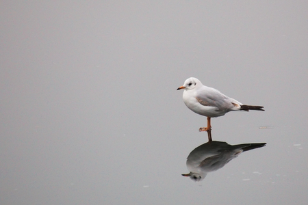 image date: A young black-headed gull (Chroicocephalus ridibundus) walking on ice in winter.