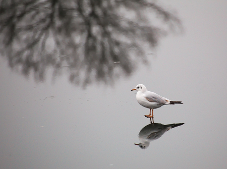 meagre: A young black-headed gull (Chroicocephalus ridibundus) walking on ice in winter. The reflection of a bare winter tree adds to the composition.