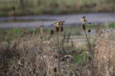 meagre: Three european golfinches (Carduelis carduelis) sitting on top of wild teasels (Dipsacus fullonum) in winter.