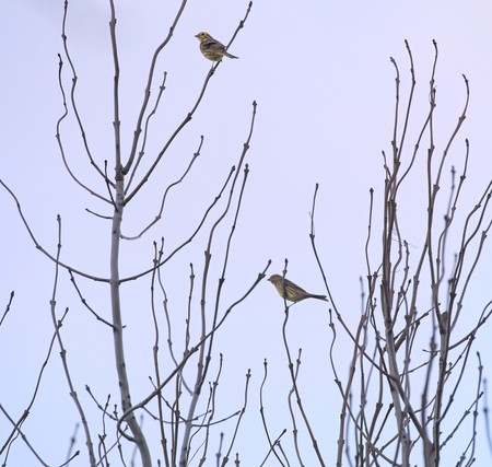 two on top: Two yellowhammers (Emberiza citrinella) sitting on top of a tree.
