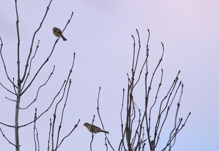 image created 21st century: Two yellowhammers (Emberiza citrinella) sitting on top of a tree.
