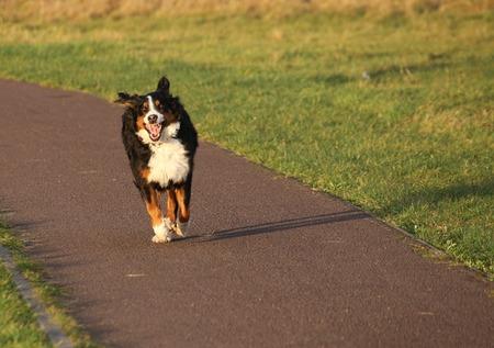 bernese dog: Bernese mountain dog running happily.