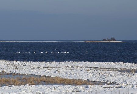 image created 21st century: Flock of mute swans (Cygnus olor) on the Baltic Sea in winter.