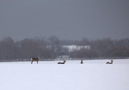 capreolus: Pack of roe deer (Capreolus capreolus) in winter landscape.