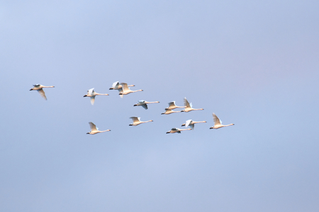 migrating: Flock of migrating mute swans .