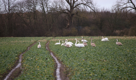Flock of mute swans (Cygnus olor) gathering and foraging on a field. photo