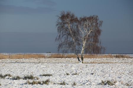 greifswald: Birch in a winter landscape on the Karrendorfer Wiesen near Greifswald, Mecklenburg-Vorpommern, Germany.