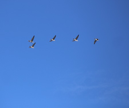 migrating: Flock of migrating greater white-fronted geese (Anser albifrons). Stock Photo