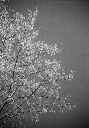 image created 21st century: Black and white image of frost on a winter tree in the morning.