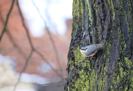moving images: Eurasion nuthatch (Sitta europaea) sitting on the side of a stem.