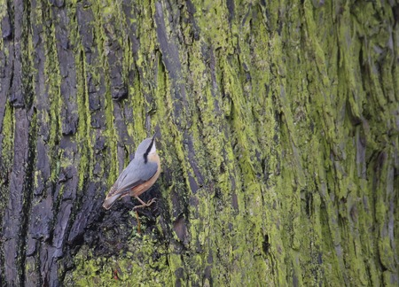 image date: Eurasion nuthatch (Sitta europaea) sitting on the side of a stem.