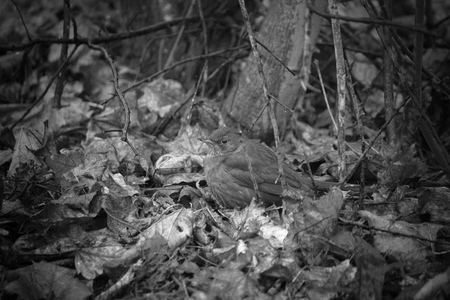 image created 21st century: Female Blackbird (Turdus merula) on brown leaves in black and white image. Grain is included is this old-fashioned composition. Stock Photo