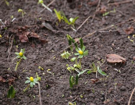 image created 21st century: Flowering winter aconite (Eranthis hyemalis) in spring.