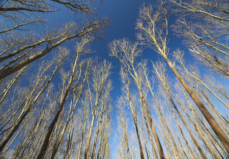 image created 21st century: Bare trees under a clear dark blue sky.