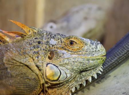 image created 21st century: Green iguana (Iguana iguana) head close-up. Stock Photo