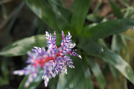 acute angle: Violet-white bromelia with unusual selective focus effect. Stock Photo