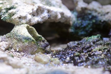 mudskipper: Periophthalmus novemradiatus, Pearse's mudskipper, looking out of a hole in the rocks.