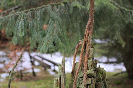 picea: Young spruce tree (Picea) growing from the rotting remains of an old tree.