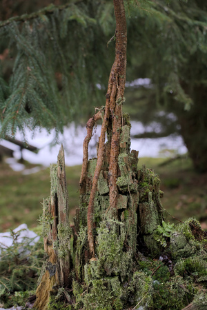 image date: Young spruce tree (Picea) growing from the rotting remains of an old tree.