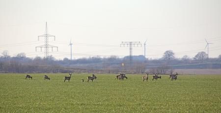 capreolus: European roe deer (Capreolus capreolus) herd on agricultural landscape with power lines.