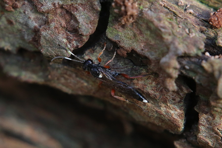 image created 21st century: Ichneumon wasp species (Ichneumon stramentarius) on bark.