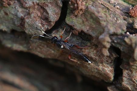 ichneumonidae: Ichneumon wasp species (Ichneumon stramentarius) on bark.