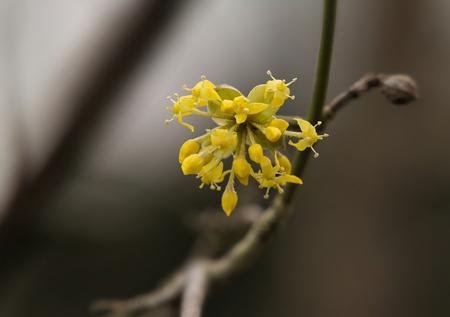 mas: Cornelian cherry (Cornus mas) flowering in spring.