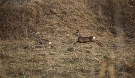 medium shot: Two roe deer (Capreolus capreolus) are fleeing.