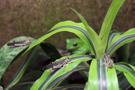 migratory: A migratory locust (Locusta migratoria) sitting on a leaf with a blurred predator, Wallace's flying frog (Rhacophorus nigropalmatus) in the background. Stock Photo