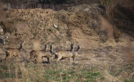 alarmed: Small herd of roe deer (Capreolus capreolus) standing in front of earth heap and watching alarmed.