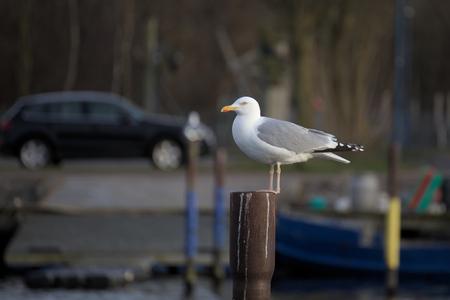 metal pole: European herring gull (Larus argentatus) sitting on metal pole with defocused background.