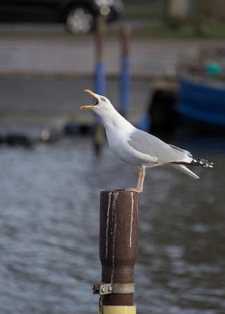 metal pole: European herring gull (Larus argentatus) calling while sitting on metal pole with defocused background.