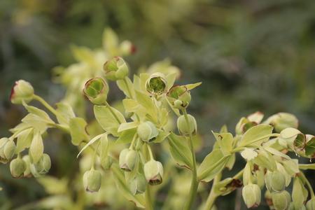 viridis: Green blossoms of the green hellebore (Helleborus viridis).