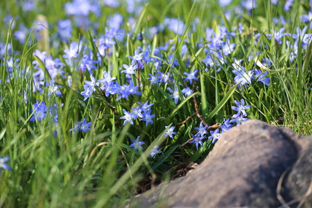 image created 21st century: Two-leaf squill (Scilla bifolia) flowers covering the ground.